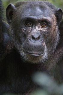 Close-up of a chimpanzee (Pan troglodytes), Kibale National Park, Uganda von Panoramic Images