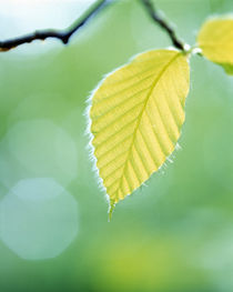 Close up of pale green leaves hanging from branch von Panoramic Images