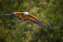 Black-Collared hawk (Busarellus nigricollis) in flight by Panoramic Images