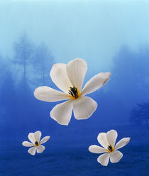 Three white orchids floating in foggy blue sky  von Panoramic Images