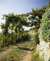 Gravel road passing through vineyards von Panoramic Images