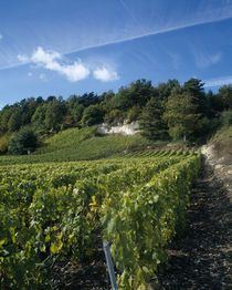 Vineyard on a landscape, Ay, Champagne, France by Panoramic Images