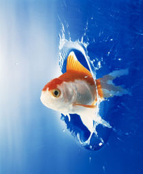 Orange, yellow and white fish flying through water splash von Panoramic Images