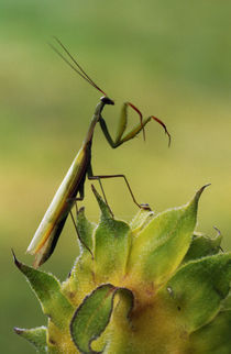 Praying mantis perched on flower blossom, Canada. by Panoramic Images