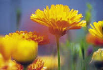 Wildflowers in bloom, soft focus close up, Oregon, united states, von Panoramic Images