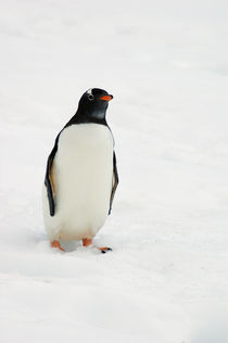 One gentoo penguin walking in snow, Antarctica. von Panoramic Images