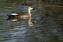 Spot-Billed duck (Anas poecilorhyncha) swimming in a lake von Panoramic Images