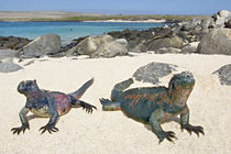 Two Marine iguanas (Amblyrhynchus cristatus) on sand, Galapagos Islands, Ecuador von Panoramic Images