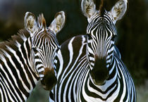 Zebras Africa by Panoramic Images