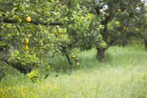 Close-up of lemon groves, Sorrento, Naples, Campania, Italy von Panoramic Images