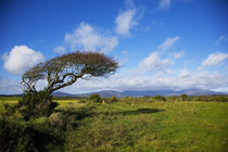 Windswept Tree and Comeragh Mountains, County Waterford, Ireland von Panoramic Images