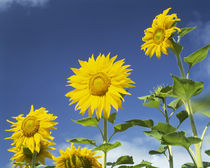 Close-up of sunflowers (Helianthus annuus), Japan von Panoramic Images