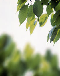 Green leaves on branch with blurry trees by Panoramic Images