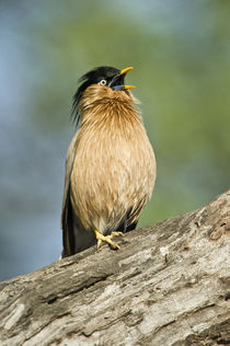 Close-up of a Brahminy Starling (Sturnia pagodarum) calling on a tree by Panoramic Images