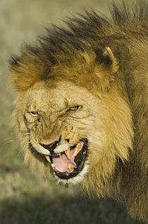 Close-up of a lion snarling by Panoramic Images