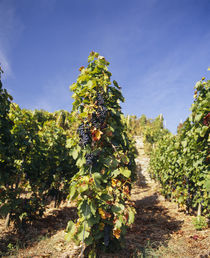 Grape vines in a vineyard von Panoramic Images