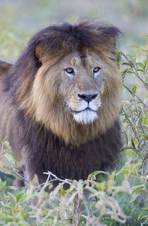 Close-up of a Black maned lion by Panoramic Images