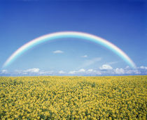 Rainbow spans over a field of yellow flowers von Panoramic Images