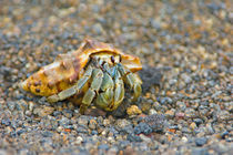Close-up of a Hermit crab (Coenobita clypeatus), Galapagos Islands, Ecuador by Panoramic Images