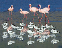 Avocets and flamingos standing in water von Panoramic Images