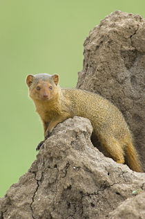 Side profile of a Dwarf mongoose von Panoramic Images