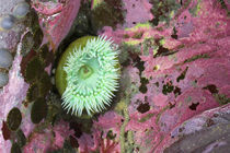 Green Anemone Among Colorful Coral by Panoramic Images