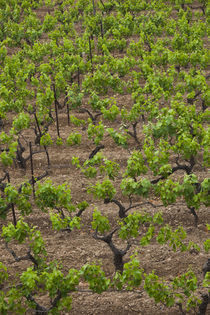 Vines in a vineyard, Jerzu, Ogliastra, Sardinia, Italy von Panoramic Images