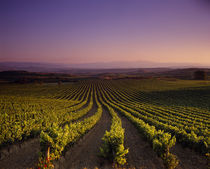 Vineyard on a landscape at dusk by Panoramic Images