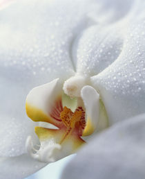 Close up of center of white orchid with yellow center von Panoramic Images
