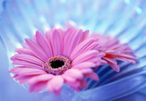 Close up of two pink gerbera daisies in water ripples by Panoramic Images