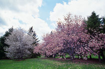Blooming star and saucer magnolia trees, New York, USA. von Panoramic Images