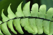 Maidenhair fern frond detail (Adiantum pedatum). von Panoramic Images