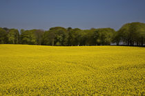 Field of Oil Seed Rape, Near Carrickmacross, County Monaghan, Ireland von Panoramic Images