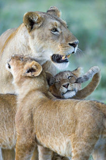 Close-up of a lioness and her two cubs by Panoramic Images