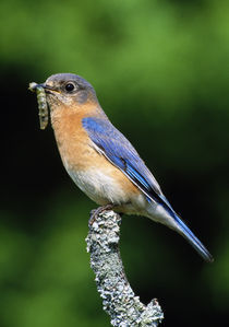 Eastern bluebird on perch, grub in beak, profile, Michigan, USA. by Panoramic Images