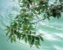 Green leafy boughs trailing in water ripples by Panoramic Images
