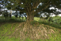 Weeping Fig tree (Ficus benjamina) in a field von Panoramic Images