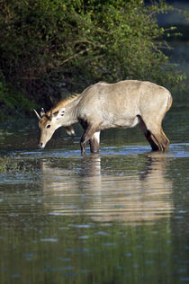 Nilgai (Boselaphus tragocamelus) drinking water from a lake von Panoramic Images