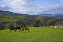 Horses and Sheep in the Barrow Valley, Near St Mullins, County Carlow, Ireland von Panoramic Images