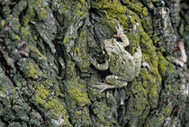 Greater gray tree frog (Hyla versicolor) on tree bark, close-up. von Panoramic Images