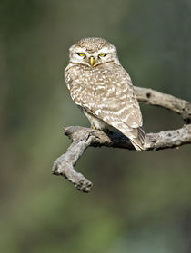Close-up of a Spotted owlet (Strix occidentalis) perching on a tree von Panoramic Images