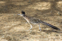 Road Runner In Motion von Panoramic Images