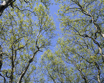 Low angle view of trees, Loire, France von Panoramic Images