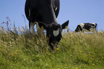 Friesian Cattle Grazing in Wild Flower Meadow by Panoramic Images