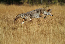 Coyote leaping through autumn color grass by Panoramic Images
