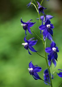 Poison Delphinium Flowers In Bloom von Panoramic Images