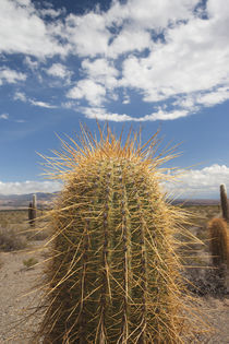 Cactus plants in a desert von Panoramic Images