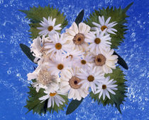 Close up of white daisy bouquet with mottled blue background von Panoramic Images