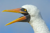 Close-up of a Nazca booby (Sula granti), Galapagos Islands, Ecuador by Panoramic Images