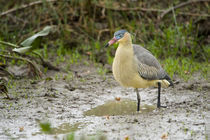 Whistling heron (Syrigma sibilatrix) at puddle von Panoramic Images